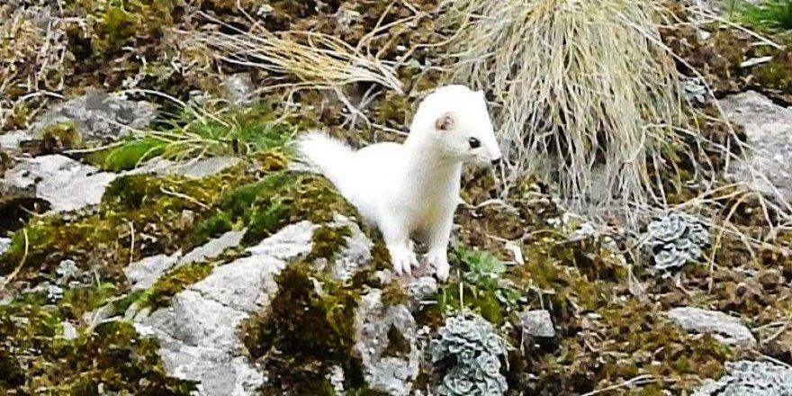 Beyaz gelincik Şırnak'ta görüntülendi